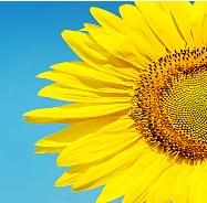 蓝色天空下的向日葵
